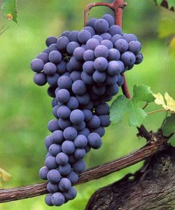 a-uva-nebbiolo