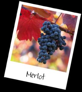 cacho-uva-merlot