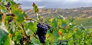 uva-montepulciano