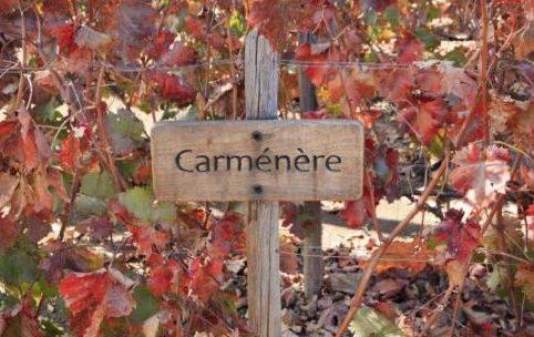 vinhedo-carmenere