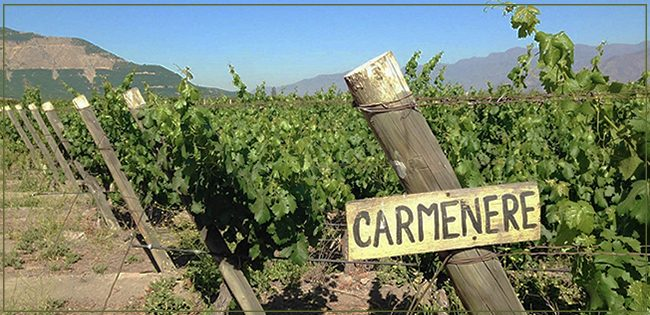 vinhos-uva-carmenere-chile-vinhosite