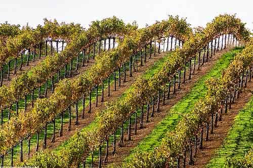 Cultivo da Uva Cabernet Sauvignon