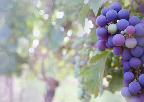 uvas de Abruzzo