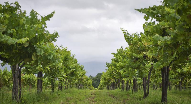 Portugal possui mais de 250 espécies de uvas nativas