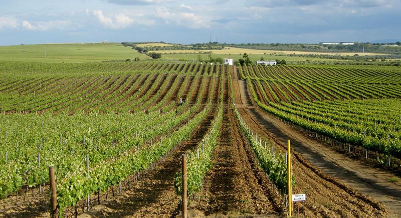 Vinhas cultivadas na região do Alentejo